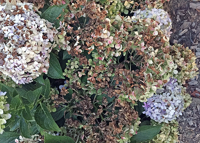So now you know. What turned YOUR hydrangea flowers brown?