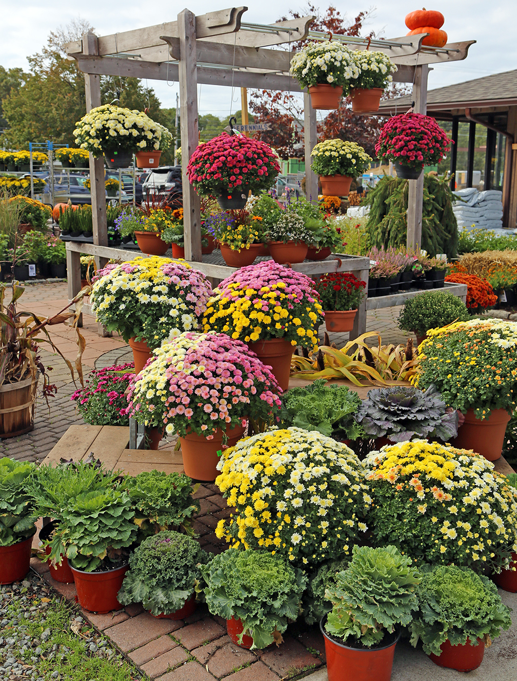 Are Fall Mums Perennial Hyannis Country Garden