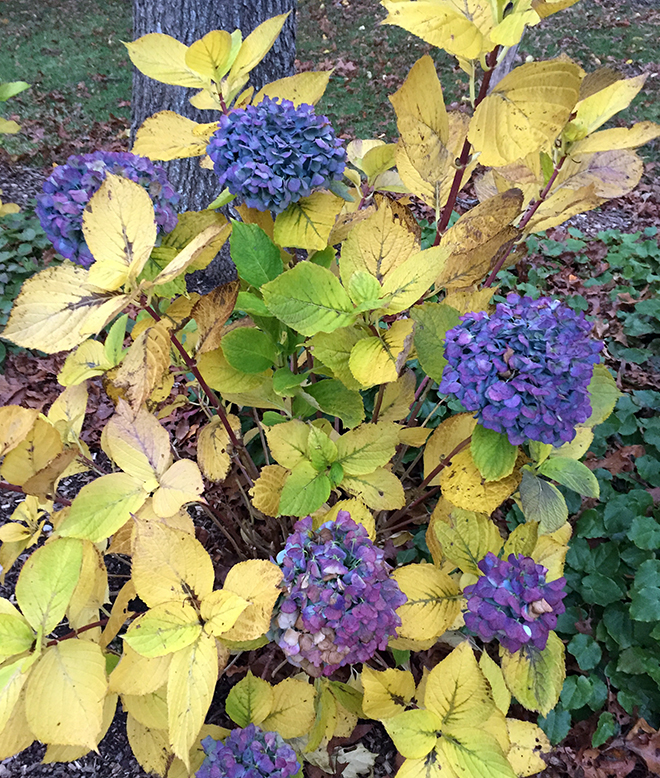 Mophead hydrangeas look lovely in the fall when their blue, purple and pink flowers contrast with the fall foliage.