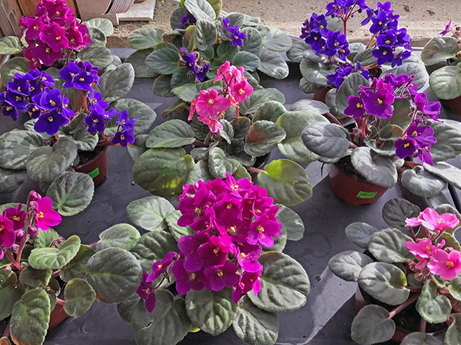 African violets grow well in eastern windows and are pet friendly.