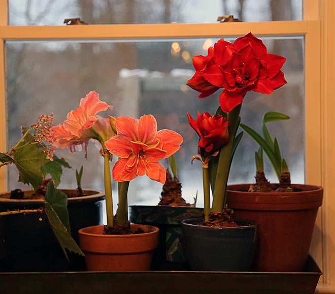 How Do I Keep My Amaryllis Bulb So That It Will Flower Next Year