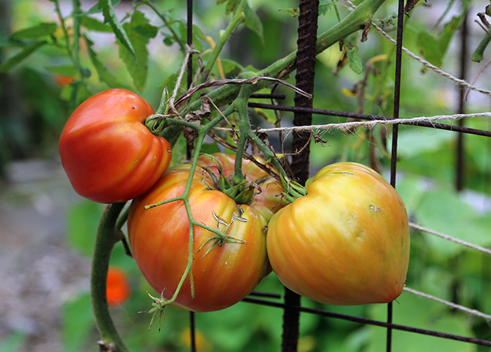 This plant has ripening tomatoes even though it has early blight. The fruit is being supported by the twine.