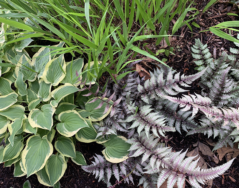 Japanese painted fern has silver, purple and pink in the leaves.